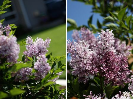 Backyardlilac