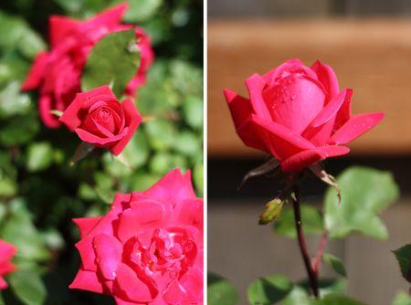 Backayard_roses